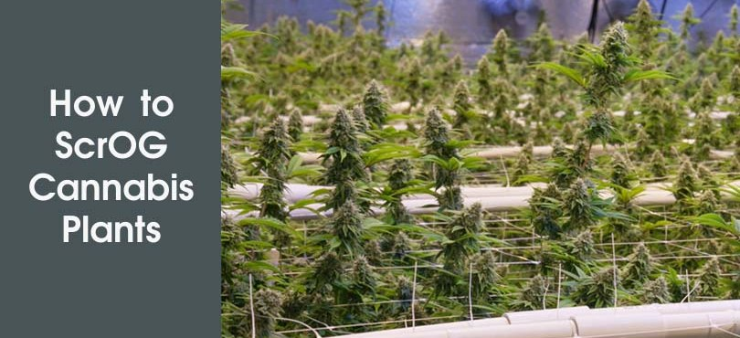 How to ScrOG Cannabis Plants Featured Image