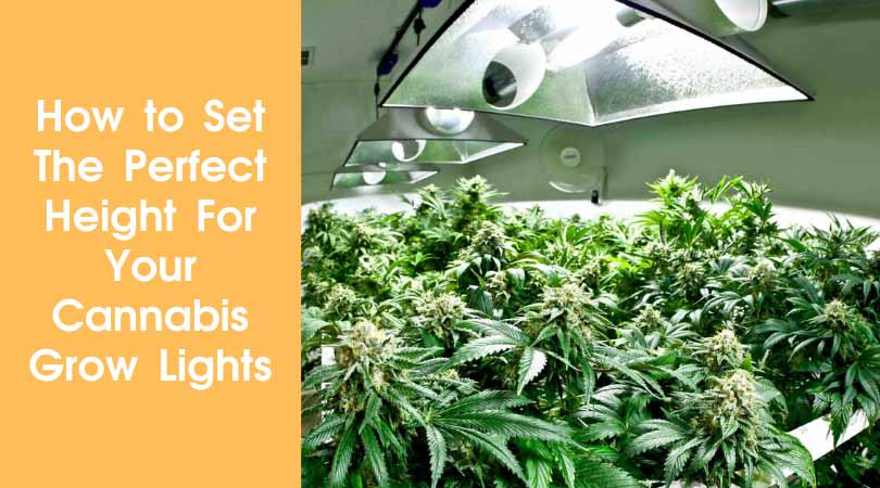 How to Set The Perfect Height For Your Cannabis Grow Lights Cover Photo