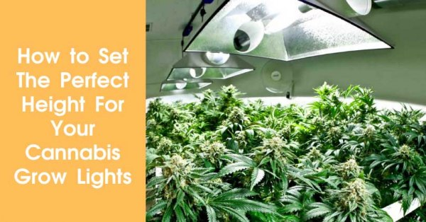 How to Set The Perfect Height For Your Cannabis Grow Lights Featured Image