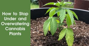 How to Stop Under and Overwatering Cannabis Plants Featured Image