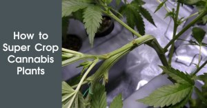 How to Super Crop Cannabis Plants. Featured Image