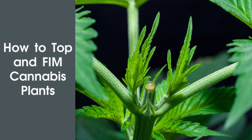 How to Top and FIM Cannabis Plants Cover Photo
