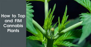 How to Top and FIM Cannabis Plants Featured Image