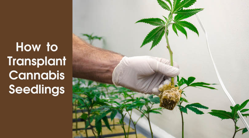 How to Transplant Cannabis Seedlings Cover Photo