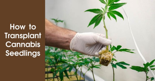 How to Transplant Cannabis Seedlings Featured Image