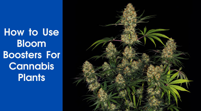 How to Use Bloom Boosters For Cannabis Plants Cover Photo