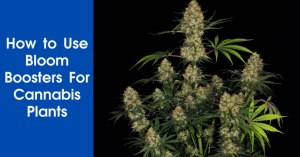 How to Use Bloom Boosters For Cannabis Plants Featured Image