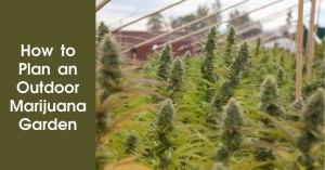 How to plan an Outdoor Marijuana Garden Featured Image