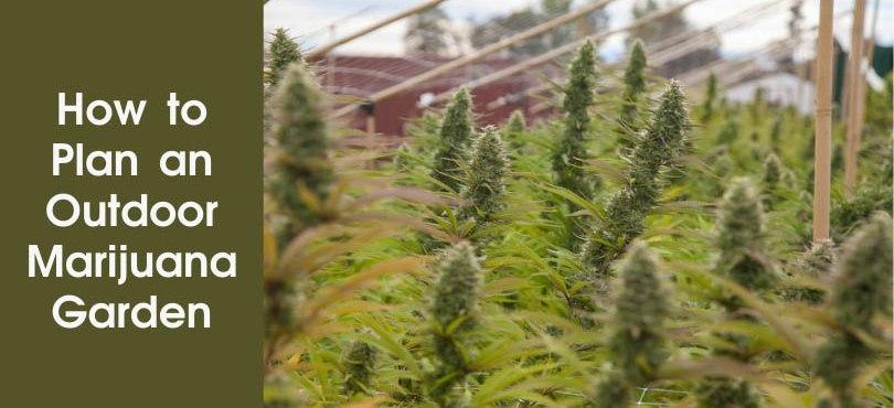 How to plan an Outdoor Marijuana Garden Featured Image