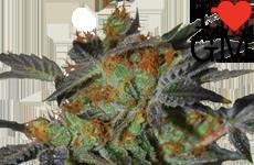 ILGM Agent Orange Feminized Seeds