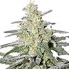 ILGM Feminized Seeds Super Silver Haze