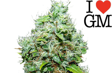 ILGM NYC Diesel Feminized Seeds