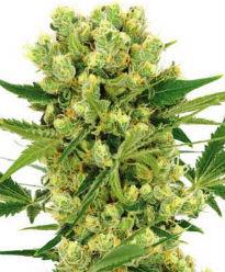ILGM Amnesia Haze Cannabis Seeds