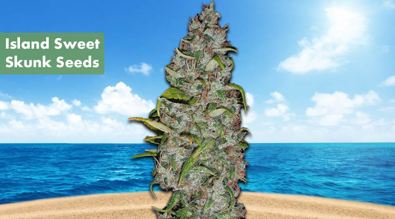 Island Sweet Skunk Seeds Cover Photo