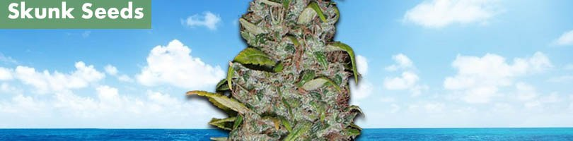 Island Sweet Skunk Seeds Featured Image