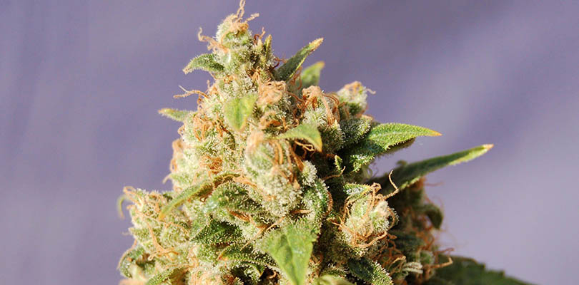 Island Sweet Skunk Seeds Strain Description