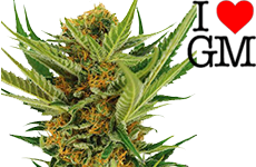 Jack Herer Feminized Seeds ILGM