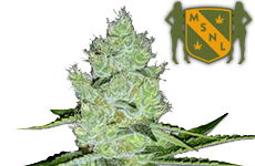Jack Herer Feminized Seeds MSNL