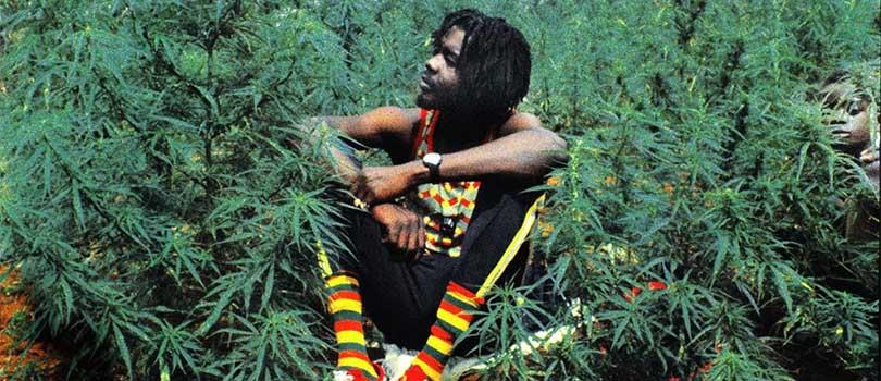 Jamaica Cannabis Field