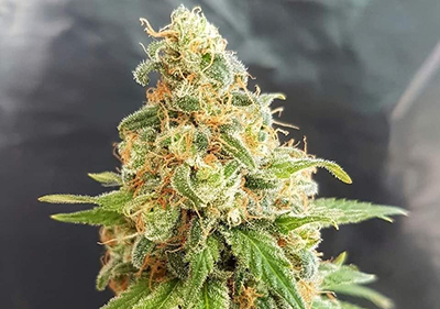 Kosher Kush Feminized Cannabis Indica Seeds