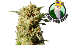 Kosher Kush Feminized Seeds Crop King Seeds