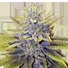 LA Confidential Cannabis Seeds