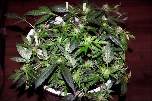 LST Even Canopy