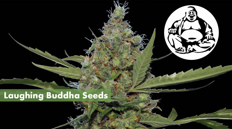 Laughing Buddha Seeds Cover Photo
