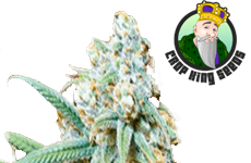 Lemon Kush Feminized Seeds Crop King Seeds