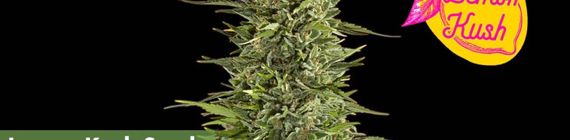 Lemon Kush Seeds Featured Image