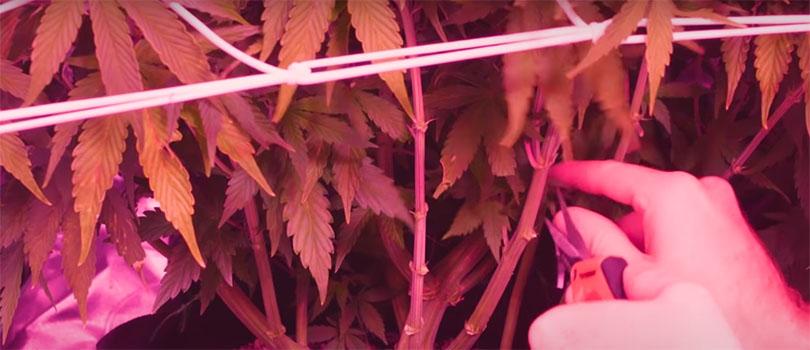 Lollipopping Cannabis Plant