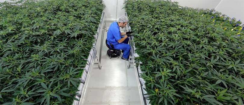 Louisiana Medical Cannabis Crop