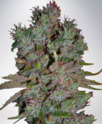 Blueberry Domina Autoflower Feminized Cannabis Seeds - Ministry of Cannabis
