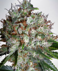 Big Bud XXL Feminized Cannabis Seeds - Ministry of Cannabis
