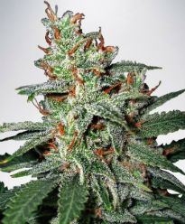 Carnival Feminized Cannabis Seeds - Ministry of Cannabis
