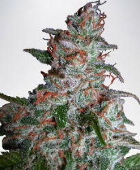 Northern Lights Feminized Cannabis Seeds - Ministry of Cannabis