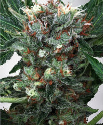 Zensation Feminized Cannabis Seeds - Ministry of Cannabis