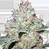 MSNL Amnesia Fast Flowering Cannabis Seeds