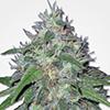 MSNL Amnesia Haze Feminized Cannabis Seeds