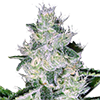 MSNL Auto Widow Cannabis Seeds