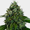 MSNL Banana Kush Feminized Cannabis Seeds