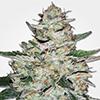 MSNL Big Bud Autoflower Cannabis Seeds