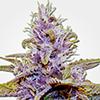 MSNL Blue Dream Auto Cannabis Seeds