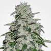 MSNL Blueberry Feminized Cannabis Seeds