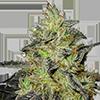 MSNL Blueberry Widow Feminized Cannabis Seeds