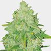 MSNL Bruce Banner Fast Flowering Cannabis Seeds