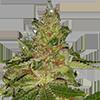 MSNL Cherry Kush Feminized Cannabis Seeds