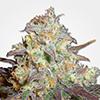 MSNL Chocolope Feminized Cannabis Seeds