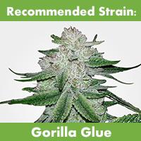 MSNL Feminized Gorilla Glue Seeds Temperate Climate