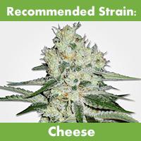 MSNL Feminized Seeds Cheese Strain Subtropical Climate 2